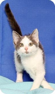 Domestic Shorthair Kitten for adoption in Gloucester, Virginia - LEONITIS