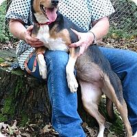 Shepherd (Unknown Type)/Australian Shepherd Mix Dog for adoption in Minneapolis, Minnesota - Sierra (Sara)