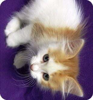 Domestic Mediumhair Kitten for adoption in Watauga, Texas - Sally