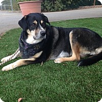 Bernese Mountain Dog Mix Dog for adoption in Temecula, California - Casey