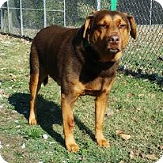 Labrador Retriever Mix Dog for adoption in Cannelton, Indiana - Brownie