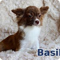 Adopt A Pet :: Basil - Shreveport, LA