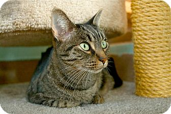 Domestic Shorthair Cat for adoption in Coronado, California - Remy