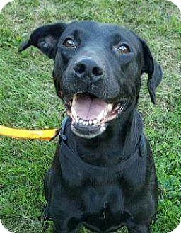 Labrador Retriever Mix Dog for adoption in Farmington, Minnesota - Stella