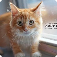 Domestic Mediumhair Cat for adoption in Edwardsville, Illinois - Sycamore