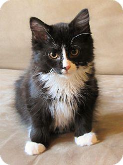 Domestic Mediumhair Kitten for adoption in Scituate, Massachusetts - Harley & Quinn
