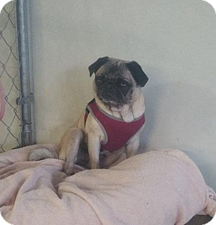 Pug Dog for adoption in Gardena, California - Chloe