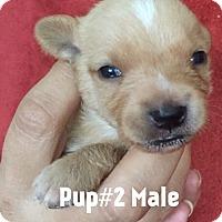 Adopt A Pet :: Pup # 2 - Waipahu, HI