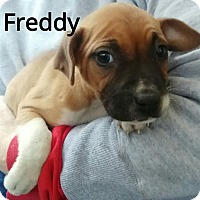 Adopt A Pet :: Freddy (has been adopted) - Burlington, VT
