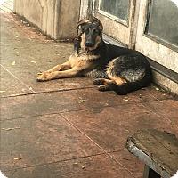 Adopt A Pet :: Bentley - Van Nuys, CA