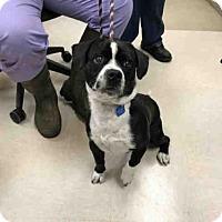 Adopt A Pet :: KNUCKLES - Olivette, MO