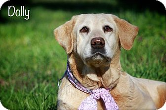 Labrador Retriever Dog for adoption in Albany, New York - Dolly