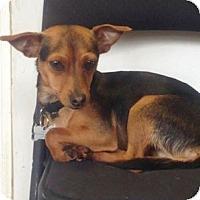 Adopt A Pet :: Pepperoni - Redondo Beach, CA