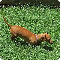 Dachshund Dog for adoption in Dallas, Texas - Jerry