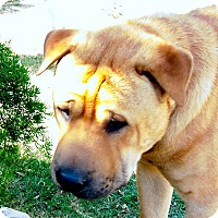 Adopt A Pet :: Gnome - pending - Mira Loma, CA