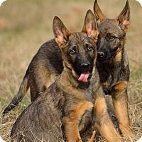 Adopt A Pet :: Malinois Puppies - Dacula, GA