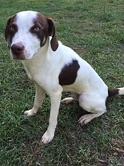Australian Shepherd/Terrier (Unknown Type, Medium) Mix Dog for adoption in Baton Rouge, Louisiana - Milo