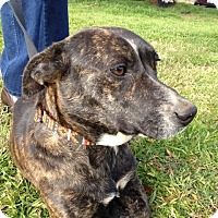 Dachshund/Terrier (Unknown Type, Small) Mix Dog for adoption in Marble Falls, Texas - Nola