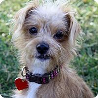 Adopt A Pet :: Jenny - I do not shed! - Los Angeles, CA