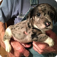 Adopt A Pet :: DONNELLY BABY BARKLEY - Waldron, AR