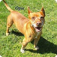Adopt A Pet :: Opie - El Cajon, CA