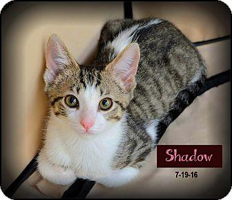 Domestic Shorthair Kitten for adoption in Sherman Oaks, California - Shadow