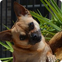Pug/Chihuahua Mix Dog for adoption in Liverpool, Texas - LOTTIE**VIDEO**