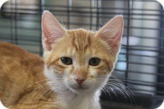 Domestic Shorthair Cat for adoption in Sarasota, Florida - Tommy Bahama