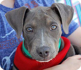 Pit Bull Terrier/Weimaraner Mix Puppy for adoption in Madison, Alabama - Laryssa