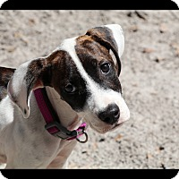 Hound (Unknown Type) Mix Puppy for adoption in Saint Augustine, Florida - Kendall