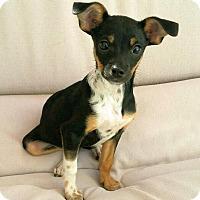 Adopt A Pet :: Stoli - Thousand Oaks, CA