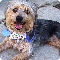 Adopt A Pet :: Benji - Watauga, TX