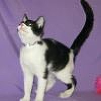 Domestic Shorthair Cat for adoption in Powell, Ohio - Buster