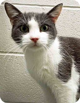 Domestic Shorthair Cat for adoption in Channahon, Illinois - Greyson