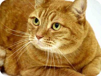 Domestic Mediumhair Cat for adoption in San Francisco, California - SWEET CHEEKS
