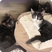 Adopt A Pet :: Amelia - Naperville, IL