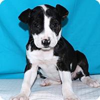 Adopt A Pet :: Sobie - Glastonbury, CT