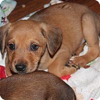 Adopt A Pet :: Ollie - Breaux Bridge, LA