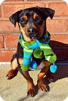 Dachshund/Chihuahua Mix Dog for adoption in Bridgeton, Missouri - Slinky