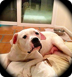 American Bulldog Dog for adoption in Seattle, Washington - Jenni - Sweet Bulldog