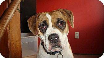 American Bulldog Dog for adoption in Elderton, Pennsylvania - Penny
