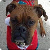 Adopt A Pet :: Tinsel - Reno, NV