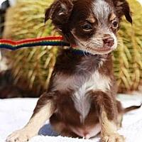 Adopt A Pet :: Spice - Gilbert, AZ