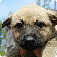 Adopt A Pet :: German Shepherd Puppies - Clinton, ME
