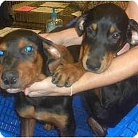 Adopt A Pet :: Rotti/Dobie - Mesa, AZ