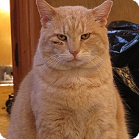 American Shorthair Cat for adoption in Unionville, Pennsylvania - Teddy