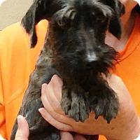 Adopt A Pet :: PRECIOUS (SRC#1803)IN NC - Lenoir, NC