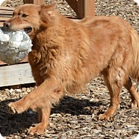 Adopt A Pet :: Brownie - Pacific, MO