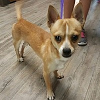 Chihuahua Mix Dog for adoption in Phoenix, Arizona - Damian