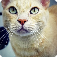 Adopt A Pet :: Cheddar - Casa Grande, AZ